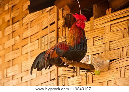 Cocks in the at the wall of the house in a traditional village, laos