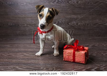 Jack Russell Terrier sitting in front of dark wooden background. Dog with festive gift box.