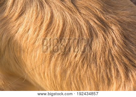 Golden retriever dog hair , hair background