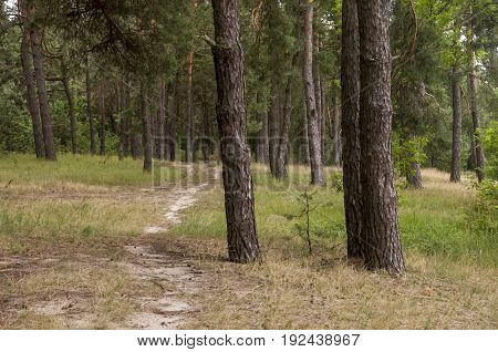 Pine trees in the autumn forest. Fall evening in brown colors