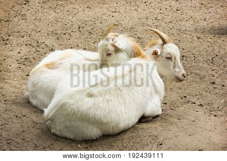 Two young yellowish goats rest on the sand