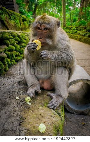 Long-tailed macaques Macaca fascicularis in The Ubud Monkey Forest Temple eating a cob corn using his hands, on Bali Indonesia.
