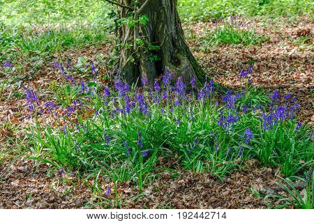 Bluebell patch near a tree trunk in spring. Vibrant flowers.