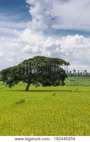 Karnataka India - October 26 2013: Portrait of dark green slanted tree standing alone in yellow-green rice paddies under heavy white cloudscape in blue skies. South Karnataka.