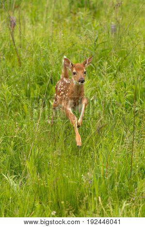 White-Tailed Deer Fawn (Odocoileus virginianus) Jumps Forward - captive animal