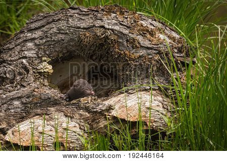 American Mink (Neovison vison) Kit Alone in Log - captive animal
