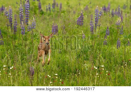 White-Tailed Deer Fawn (Odocoileus virginianus) Jumps Through Lupin - captive animal