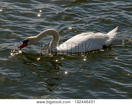 Thirsty Swan. Gdynia, Poland - June 11, 2017 White Swan on the water in the port of Gdynia.