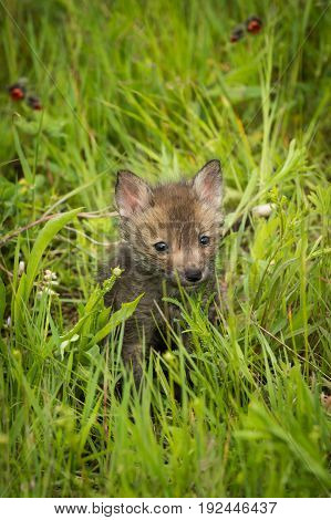 Red Fox (Vulpes vulpes) Kits Kit Alone in Grass - captive animal
