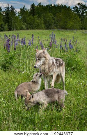 Grey Wolf (Canis lupus) Yearing and Two Pups - captive animals