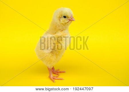 little baby bird hen chick chicken on yellow background farm studio one cute feather