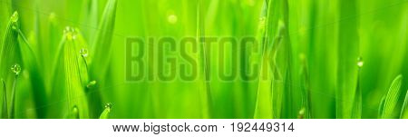 Wheatgrass passes water from root to stem blade tip overnight