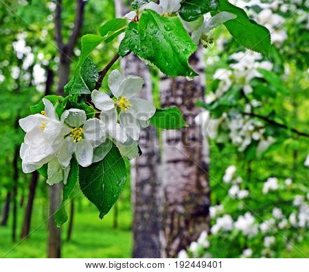 Apple-tree branch with flowers in rain against of blur garden with blossoming trees and fresh greens. Background. Landscape.
