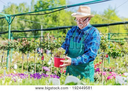 Senior gardener choosing a potted plant in a gardening center, nursery.