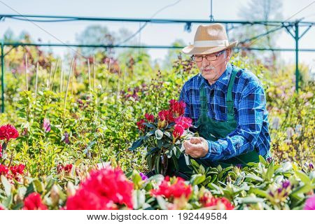 Senior gardener choosing a potted plant in a gardening center. Job concept.