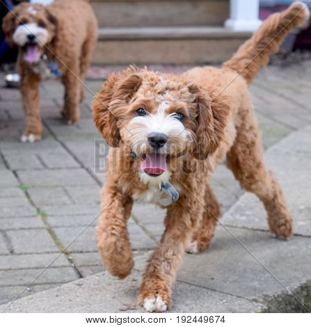 Twin dogs running toward the camera and smiling.