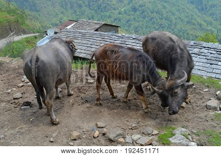 battle of two Wild cows, Annapurna national park, Nepal