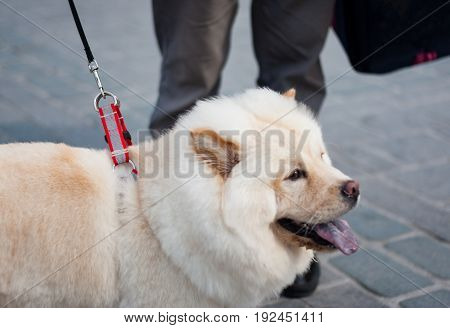 Side Wiew of the Leashed Samoyed Dog