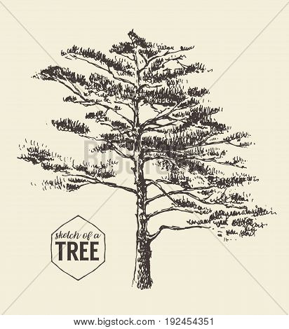 Pine tree vintage illustration, engraved style, hand drawn, sketch