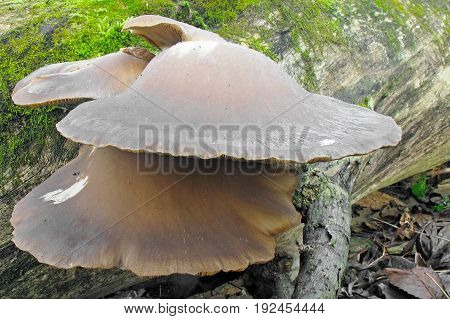 Pleurotus ostreatus Mushroom shot in the Czech Republic, Europe