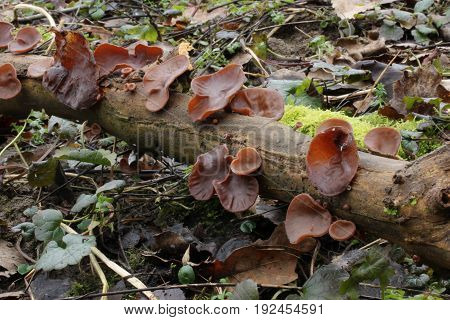 Auricularia auricula-judae Mushroom shot in the Czech Republic, Europe