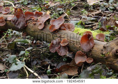 Auricularia auricula-judae Mushroom shot in the Czech Republic, Europe