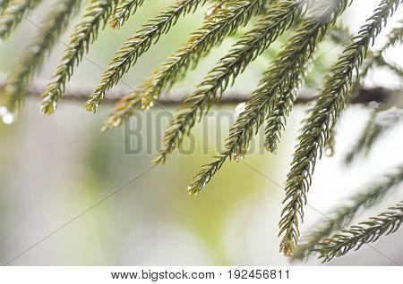 dew drop on the pine leaf , pine tree