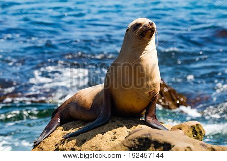 A California sea lion (Zalophus californianus) sunning himself on a rock at La Jolla Cove in San Diego County.