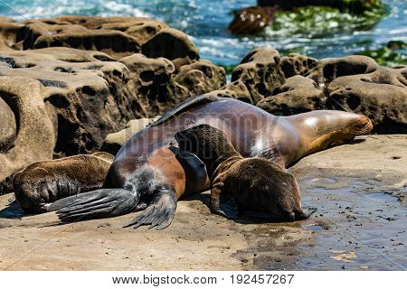 A sleeping female California sea lion with two nursing pups at La Jolla Cove in San Diego County.