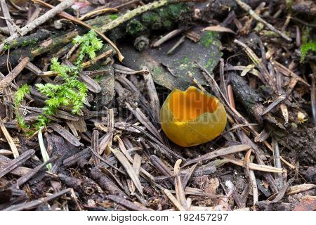 Caloscypha fulgens rare spring fungus, photographed in the Czech Republic, Europe
