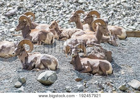 Herd of male bighorn sheep sitting on a mountainside