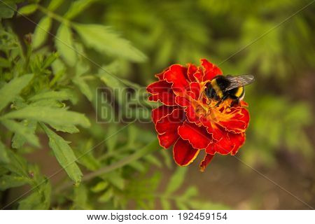 Bumblebee collecting pollen on a red flower in the park