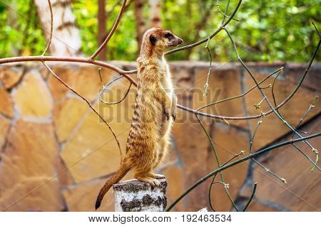 Meerkat stay over stump look a survey and surveillance