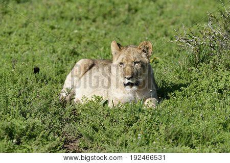 Lion Cub, South Africa