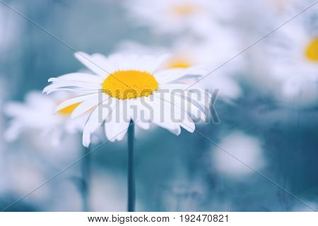 Daisies on a beautiful blue background. A gentle photo with flowers. Selective focus