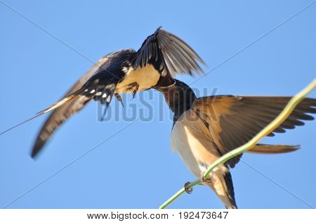 Swallow feeding her chicks on electric wire against blue sky. Swallow bird in natural habitat