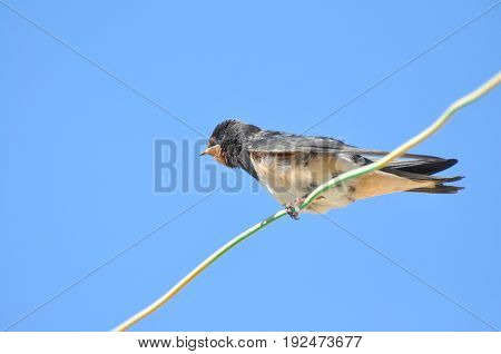 Swallows sitting on wires and rest against the blue sky. Swallow bird in natural habitat