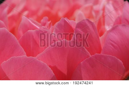 Peony Pink Hawaiin, Coral Paeonia lactiflora, flowers of the gardens