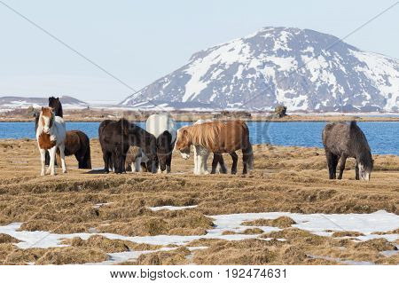 Icelandic horses with mountain background farm animal in Iceland
