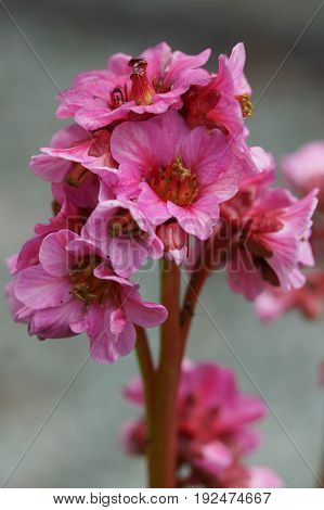 Bergenia, Bergenia hybride, flowers of the gardens