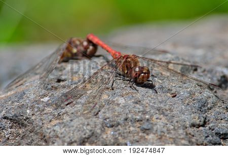 Coupling of red dragonflies perched on the rock