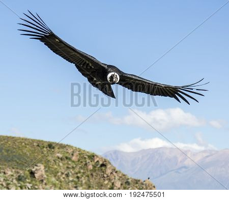 Flying Andean condor in the Colca canyon. Peru
