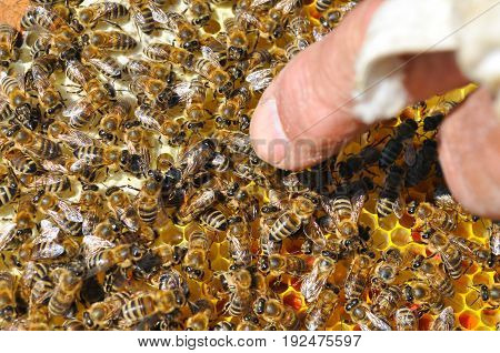 Mistress bee colonies. Queen bee is larger than worker bee. Queen bee surrounded by her workers. Beekeeper shows on queen bee
