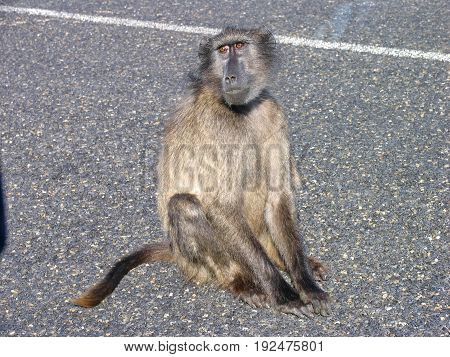 BABOON, CAPE POINT RESERVE, CAPE TOWN,  SOUTH AFRICA