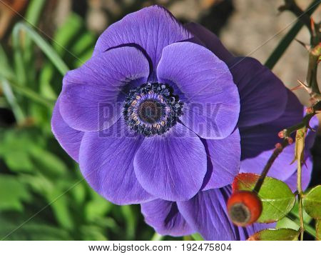 Purple Crown Anemone Flower, Anemone is a genus of about 200 species of flowering plants in the family Ranunculaceae