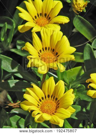 FLOWERS, YELLOW AND ORANGE GAZANIAS, WITH GREEN LEAFED BACK GROUND