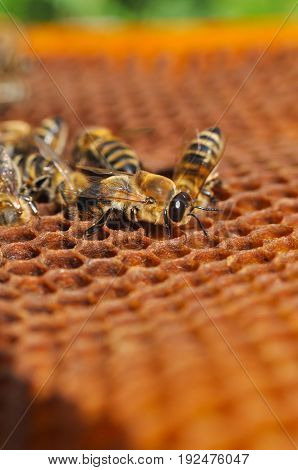 Honey bees in a beehive on honeycomb. Close up of honey bee in honeycomb. Swarm of bee worker in a beehive