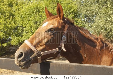 Brown racer horse at stall at summer time