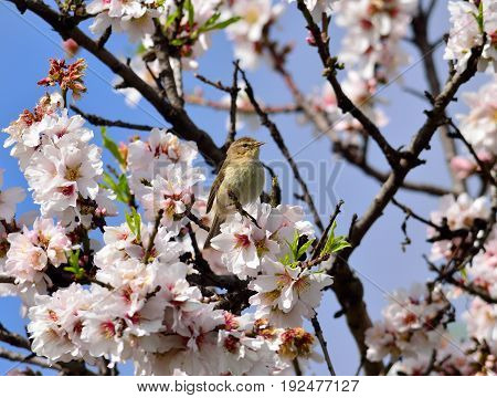 Almond tree in full bloom and small phylloscopus bird amidst flowers