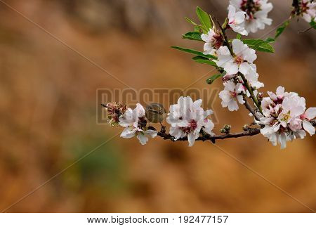 Branch of almond tree in bloom and small phylloscopus bird